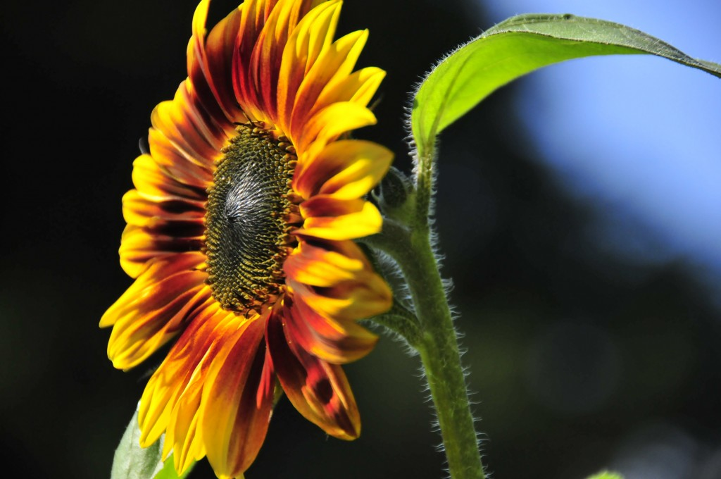 One of our very own homegrown sunflowers